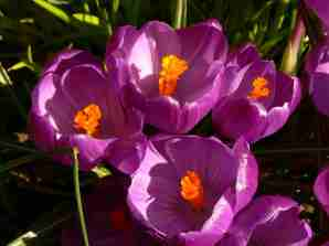 spring crocus in my garden
