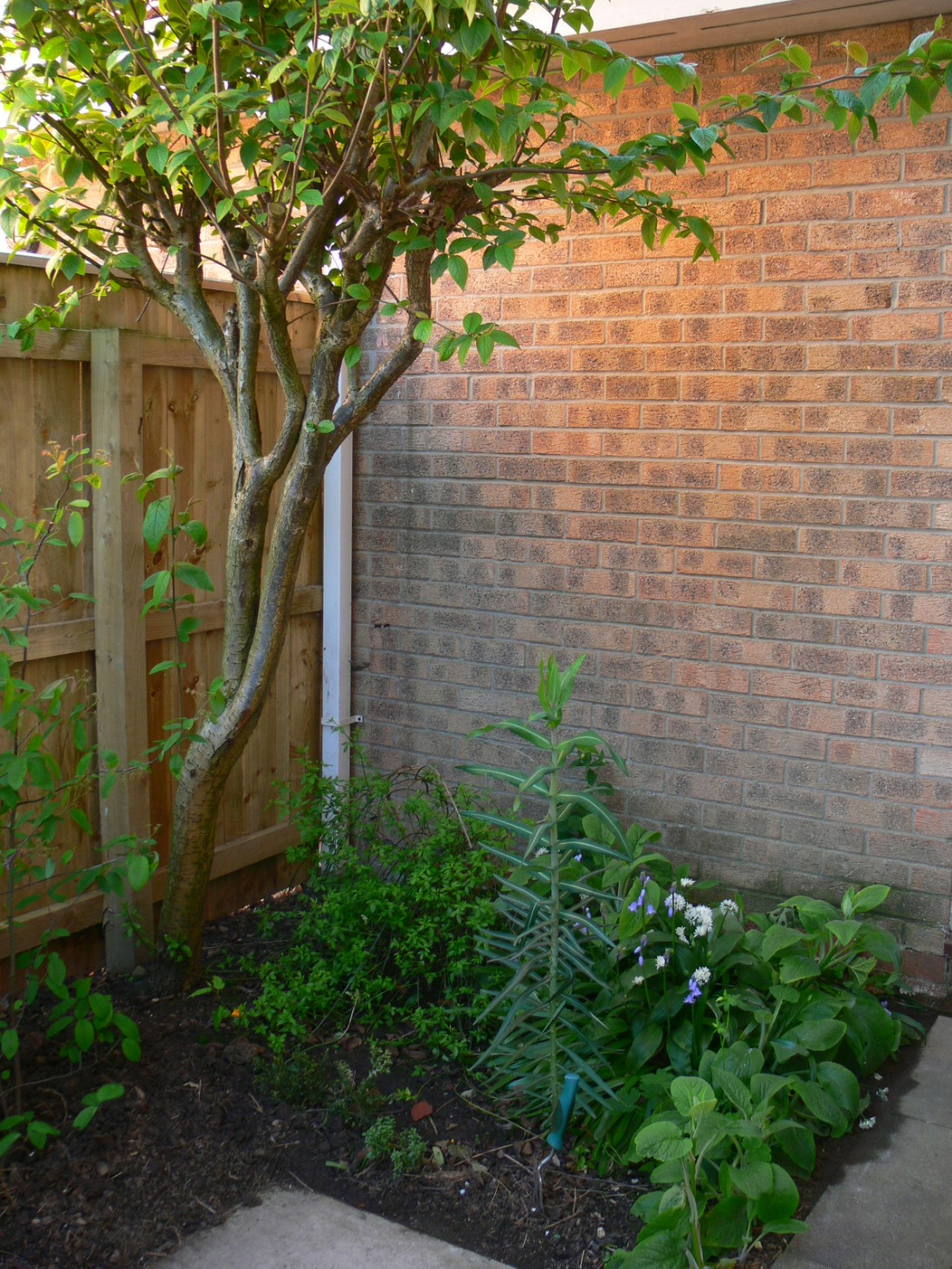 Heres a tricky area, lots of shade, probably its best year yet, a patch three decades old. I've also planted Amelanchier to the left and a few weeks ago the small white flowers were a delight in the semi-shade.