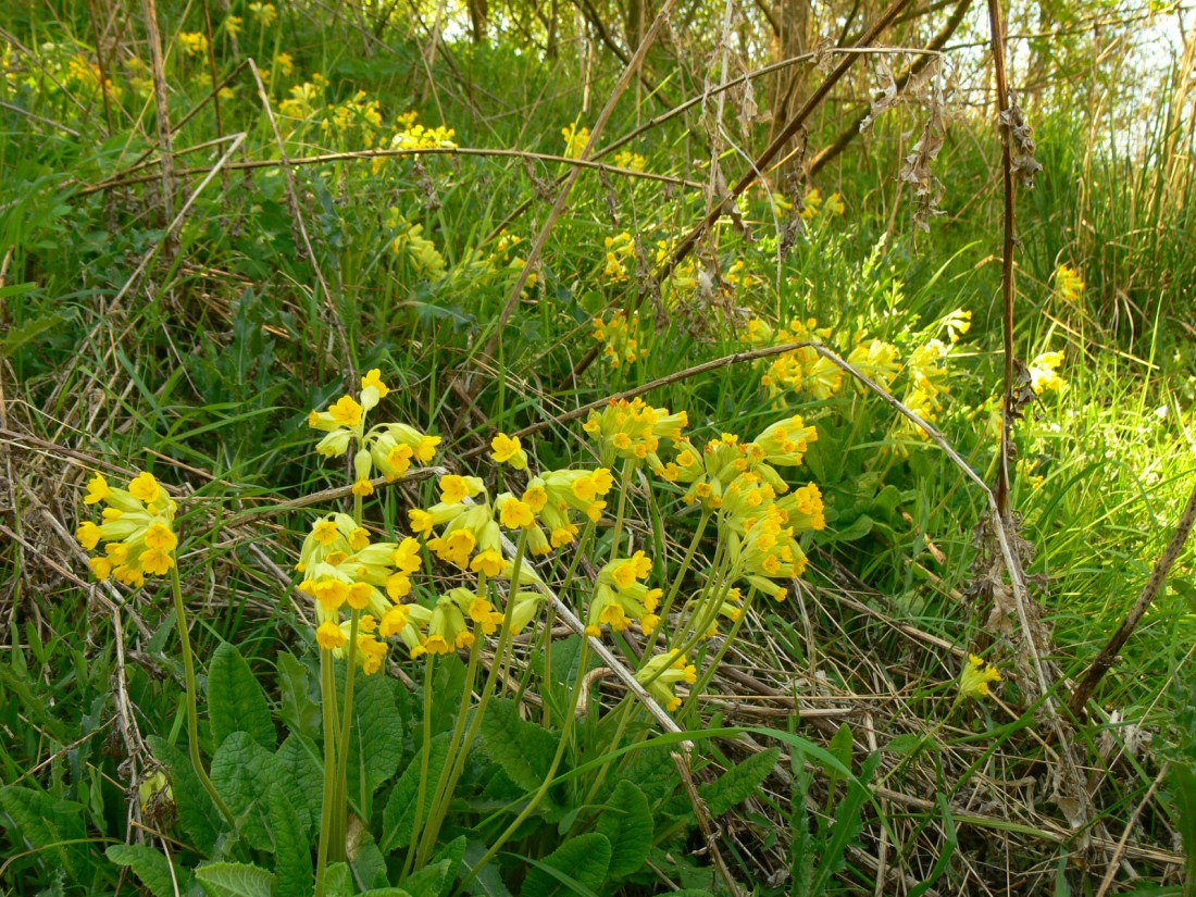 A fifty yard bank of cowslip from Seaham, seed first cast twenty years ago.