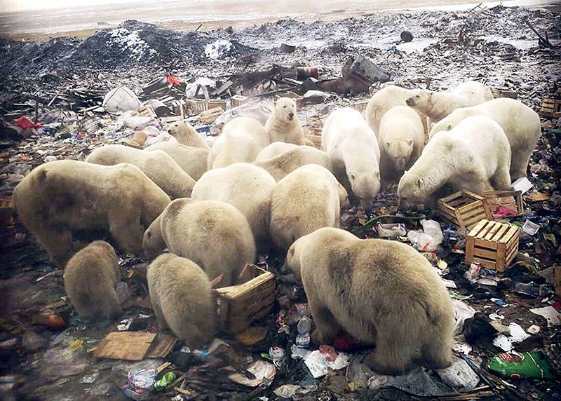 d41586-019-00843-1_16529292 ... polar bears scavenging a rubbish tip. https://www.nature.com/articles/d41586-019-00843-1
