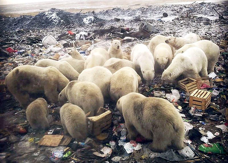 d41586-019-00843-1_16529292 ... polar bears scavenging a rubbish tip. https://www.nature.com/articles/d41586-019-00843-1